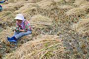 A woman rests in the ricefield during harvesting, Chimi Lhakhang, Bhutan