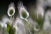 Hare´s Tail Grass, (Lagurus ovatus), Hisarköy, Northern Cyprus