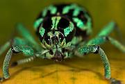 Weevil, Eupholus browni, Papua New Guinea, metallic green and black, captive