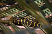 Mangrove Snake (Boiga dendrophila)<br /> Borneo<br /> Rear fanged colubridae