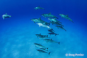 Hawaiian spinner dolphins or Gray's spinner dolphin or long-snouted spinner dolphins, Stenella longirostris longirostris, pod with very pale albinistic calf in center foreground, Makalawena, Kona Coast, Big Island, Hawaii ( Central Pacific Ocean )