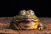 An african bullfrog (Pyxicephalus adspersus) in a mud hole. Range: Tropical africa SE from Nigeria.