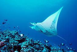 reef manta ray at cleaning station, Mobula alfredi, Kona, Big Island, Hawaii, Pacific Ocean