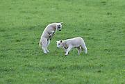 Spring lambs playing