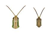 Lesser Marsh Grasshopper - Chorthippus albomarginatus - left - female/right - male