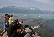 Alaska. Visitors watching Steller's Sea Lions (Eumetopias jubatus) feasting on pink salmon by swallowing them whole, in Port Valdez.