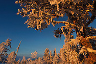 Boreal forest in mid winter colours in -39 degrees C, in Jukkasjärvi, Lapland, Laponia, Norrbotten county, Sweden