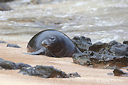 a recently weaned 5-week-old Hawaiian monk seal pup, Monachus schauinslandi, comes ashore after playing in shallow water close to the beach, Critically Endangered endemic species,  Larsen's Beach, Moloa'a, Kauai, Hawaii ( Central Pacific Ocean )