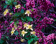Spring bloom of chaparral clematis, Clematis lasiantha, and redbud, Cercis occidentalis, Sierra foothills above Marble Fork Kaweah River, Sequoia National Park, California.