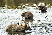 A Brown Bear sow and her spring cubs search for salmon in the lagoon of the lower Brooks River in Katmai National Park and Preserve September 16, 2019 near King Salmon, Alaska. The park spans the worlds largest salmon run with nearly 62 million salmon migrating through the streams which feeds some of the largest bears in the world.