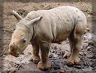 Infant Southern White Rhinoceros