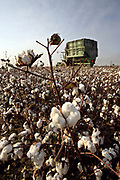 Cotton field. A cotton harvester in the background.