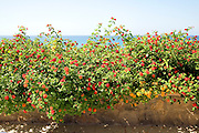 Red Sage Lantana, Spanish Flag, Lantana camera,  flowering on Mediterranean coast,  Rhodes, Greece