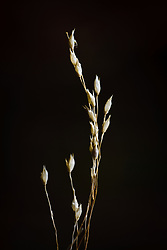 Grass seed pods, Trinity River Audubon Center, Dallas, Texas, USA.