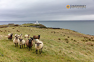 Sheep flock at Fanad Head in County Donegal, Ireland