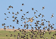 Starling flock being attacked by Merlin. Accipiter nisus. L 20-22cm. Familiar urban and rural bird with swaggering walk. Forms large flocks outside breeding season. Sexes are separable in summer. Adult male in summer has dark plumage with iridescence seen in good light. Legs are reddish and bill is yellow with blue base to lower mandible. Adult female in summer is similar but has some pale spots on underparts and pale yellow base to lower mandible. Winter adult (both sexes) has numerous white spots adorning dark plumage and dark bill. Juvenile is grey-brown, palest on throat; bill is dark; spotted body plumage acquired in winter. Voice Varied repertoire of clicks and whistles including mimicry. Status Widespread and common but declining. Found in all kinds of open habitats in winter. Often nests in house roofs.