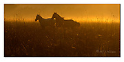 Horses in Pantanal running at sun set. Nikon D4, 70-200mm @ 200mm, f5, EV-0.33, 1/320sec, ISO500, Manual modus