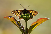 Duke of Burgundy Butterfly, Hamearis lucina, Bonsai Bank, Denge Woods, Kent UK, Small and orange and brown, like a tiny fritillary, endangered