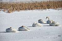 A group of swans curle up on the ice on Flat Creek on the National Elk Refuge on a chilly Saturday afternoon.