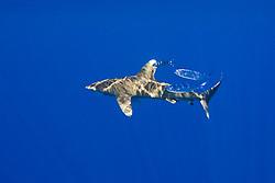 oceanic whitetip shark, Carcharhinus longimanus, accompanied by a pilot fish, Naucrates ductor, and a pair of pompano dolphinfish, Coryphaena equiselis, Kona Cost, Big Island, Hawaii, USA, Pacific Ocean
