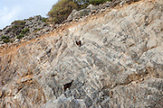 """Two Cretan goats climbing a steep wall at the Lybian Sea Coast in Palaiochora which is a small town in Chania regional unit on the island of Crete, Greece. The Kri-kri (also called the """"Cretan goat"""", """"Cretan Ibex,"""" or """"Agrimi"""") was previously considered a subspecies of wild goat but has recently been identified as a feral variety of the domestic goat. The Kri-kri is now found only on the island of Crete, Greece and three small islands just offshore."""