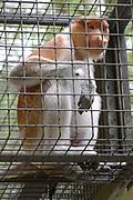 Apenheul is een gespecialiseerde dierentuin aan de rand van de Nederlandse stad Apeldoorn. De tuin ligt midden in het natuurpark Berg & Bos (200 ha). In Apenheul leven apen uit Afrika, Zuid-Amerika en Azië. De dieren leven er heel vrij: gaas of tralies ziet men er bijna niet. Sommige soorten lopen zomaar tussen de bezoekers rond. <br /> <br /> Op de foto:  Neusaap