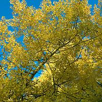 Fall-colored aspens highlight northern slopes of Gallatin Range, near Bozeman Montana.