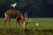 A male , stag, Père David's deer, or Milu, Elaphurus davidianus, with Cattle egret, Bubulcus ibis, Hubei Tian'ezhou Milu National Nature Reserve, Shishou, Hubei, China