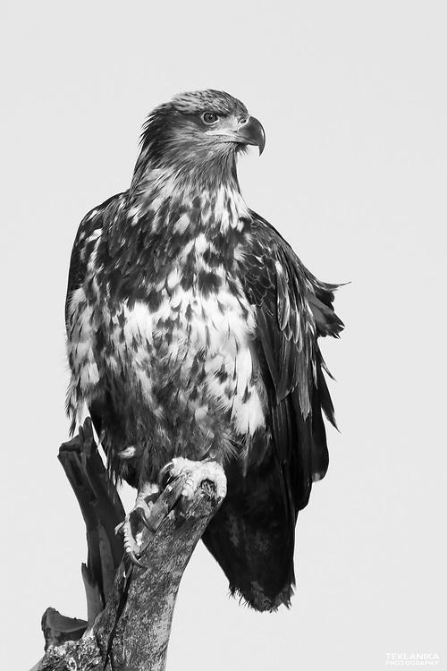 A sub-adult bald eagle perches on driftwood.