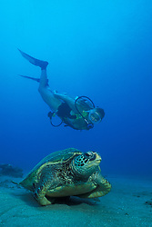 A Green Sea Turtle, Chelonia mydas, rests on the sandy seafloor as a diver approaches for a closer look. Maui, Hawaii, Pacific Ocean