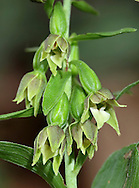 GREEN-FLOWERED HELLEBORINE Epipactis phyllanthes (Orchidaceae) Height to 50cm. Slender, upright perennial with rather insignificant-looking flowers. Grows in shady woods on calcareous soils, and sometimes on dunes. FLOWERS comprise yellowish-green sepals and petals; flowers are pendent, invariably do not open fully and are borne in open spikes (Jul-Sep). FRUITS are pear-shaped. LEAVES are narrow-ovate and strongly veined. STATUS-Very local in S England and Wales; scarce or absent elsewhere.