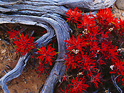 Indian Paintbrush, Castilleja chromosa, growing among weathered Juniper roots, Navajo Canyon, Navajo Reservation, Arizona.