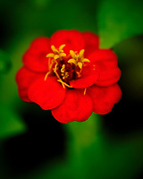 Red Zinnia flower. Image taken with a Fuji X-T3 camera and 80 mm f/2.8 OIS macro lens