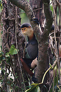 Red-shanked Douc Monkey (Langur)<br />