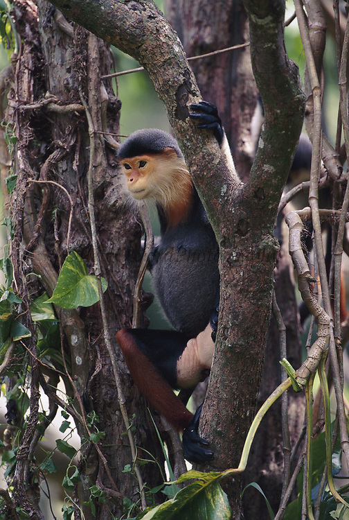 Red-shanked Douc Monkey (Langur)<br />Pygathrix nemaeus<br />Tropical Forests of CAMBODIA, LAOS, VIETNAM<br />ENDANGERED    CITES 1  (Pet trade)