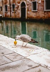 THEMENBILD - eine Seemöwe frisst einen Apfel, aufgenommen am 06. Oktober 2019 in Venedig, Italien // a seagull eats an apple in Venice, Italy on 2019/10/06. EXPA Pictures © 2019, PhotoCredit: EXPA/ JFK