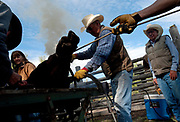 PRICE CHAMBERS / NEWS&GUIDE<br /> Smoke rises as long-time Walton Ranch hand Tom Breen marks one of his own calves Sunday as a team of cowboys brand, castrate and vacinate young bovines in the western tradition of working cattle ranches.