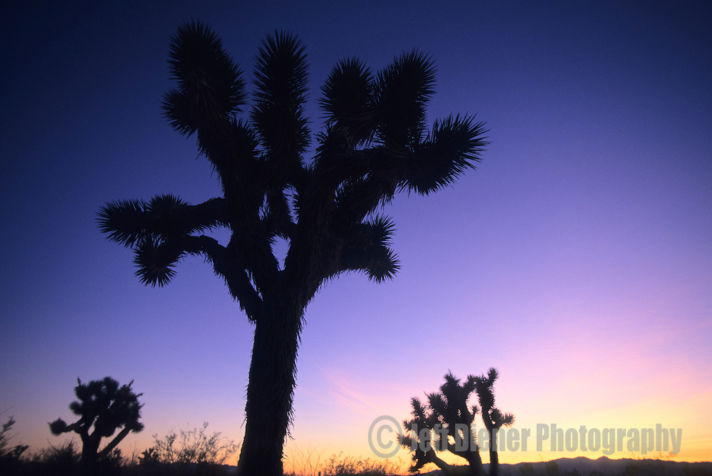 Joshua Trees are silhouetted at dusk in Joshua Tree National Park, California.