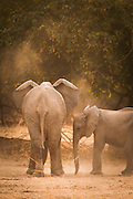African Elephants, seen on the Luangwa River Valley, Zambia, Africa