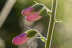 Vingerhoedskruid, Digitalis purpurea
