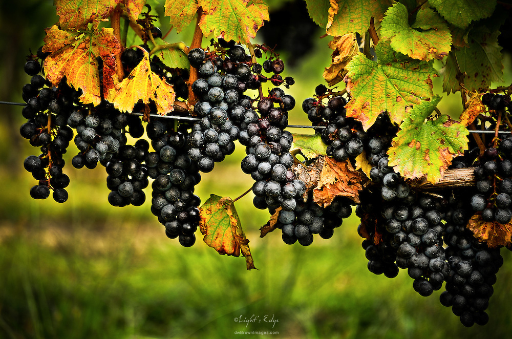 It's that time of year when in the vineyards the fruits are plentiful and the leaves begin to turn.