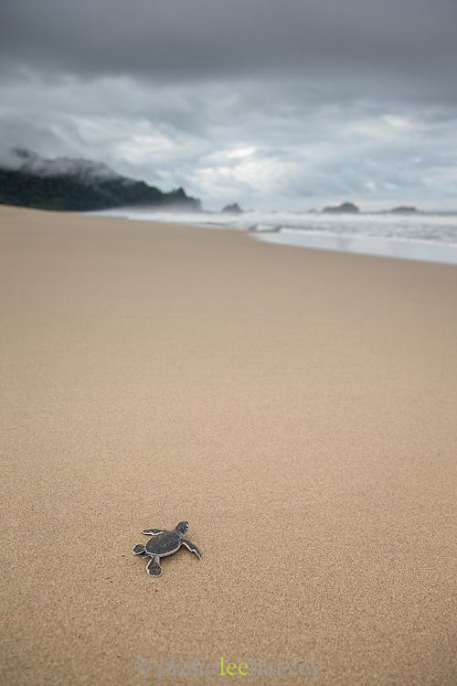 Baby Green Sea turtle, Sukamade Beach, Meru Betiri National Park, East Java, Indonesia, Southeast Asia