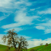 Oak trees wait to leaf out as a wet winter turns spring hillsides green in San Benito County, California.