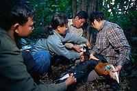 Hornbill research team led by Dr. Pilai Poonswad measure a captured Rufous-necked Hornbill (Aceros nipalensis).  Huai Kha Khaeng Wildlife Refuge, Thailand
