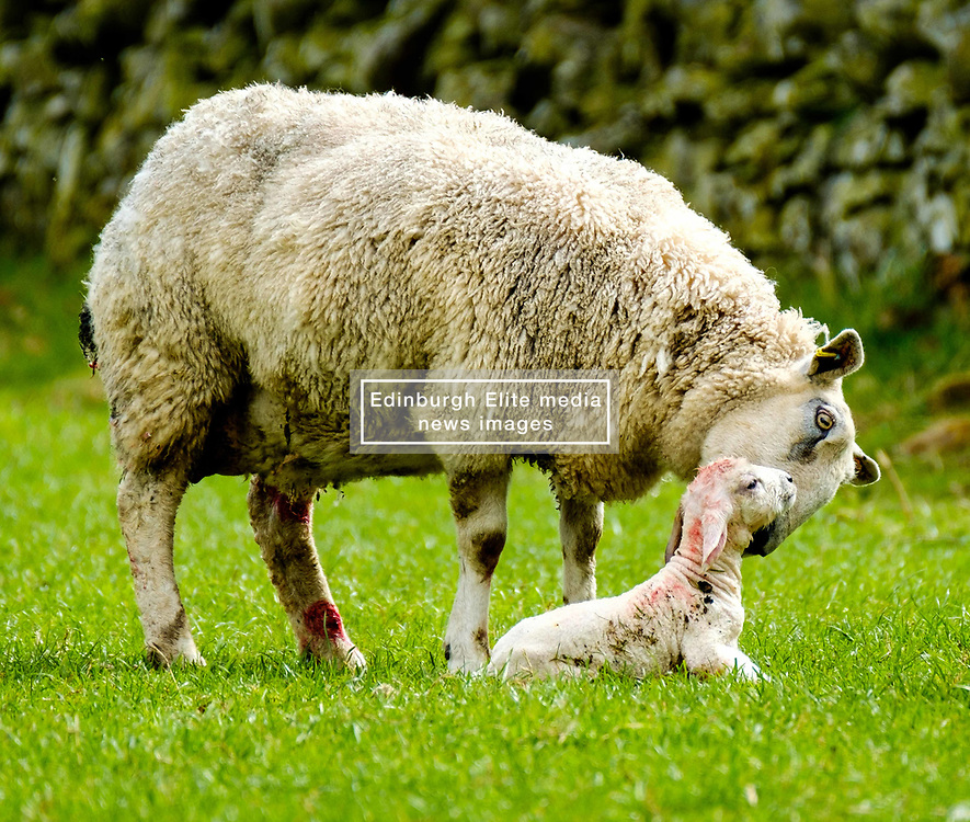Mum licks her new born lamb.  This lamb is only seconds old.  Scottish borders,<br /> <br /> (c) Andrew Wilson | Edinburgh Elite media