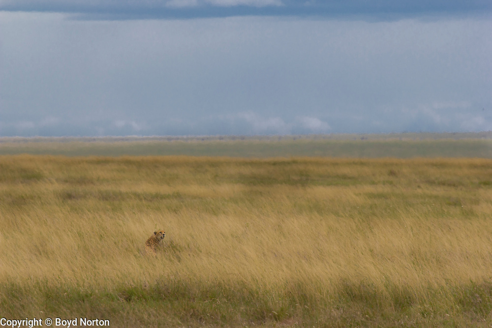 Cheetah in tall grass, Serengeti National Park, Tanzania.