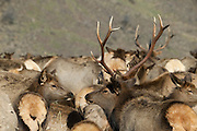 A herd of American Elk (Cervus elaphus) or Wapiti gather at the Oak Creek Wildlife Area west of Yakima, Washington. The state Fish and Wildlife Department has been putting out feed for the elk each winter since the 1940s to prevent the elk from migrating farther south and destroying valuable crops.