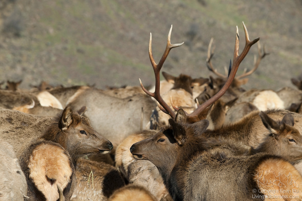 A herd of American Elk (Cervus canadensis) or Wapiti gather at the Oak Creek Wildlife Area west of Yakima, Washington. The state Fish and Wildlife Department has been putting out feed for the elk each winter since the 1940s to prevent the elk from migrating farther south and destroying valuable crops.