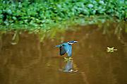 Amazon Kingfisher (Chloroceryle amazona) in flight - Amazonia, Peru