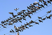 Like a bird on a wire, a flock of pigeons on power lines
